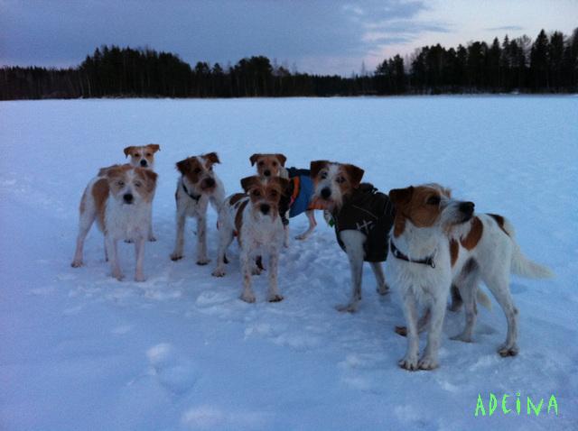 8 koiraa